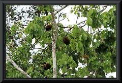 Großblütiger Kakao, Cupuaçu (Theobroma grandiflorum)