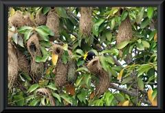 Eine Kolonie Gelbrücken-Stirnvogel ((Cacicus cela)
