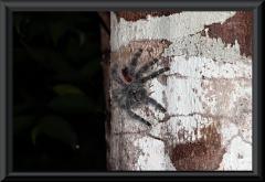 Vogelspinne (Lasiodora parahybana)