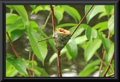 Das Nest eines Kolibris.