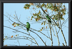 Blaubartamazone (Amazona festiva)
