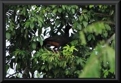 Amazonashokko (Mitu tuberosum)