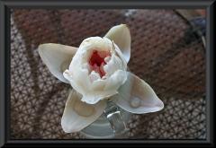 Blüte von Victoria amazonica nach dem Aufgehen