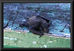 Eine kleine Fledermaus