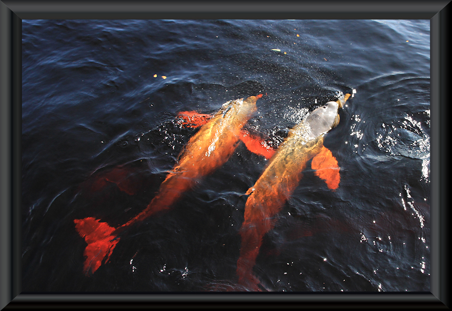 Amazonasdelfine bei Novo Airão