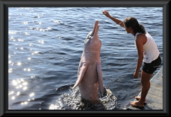 Amazonas-Delfin (Inia geoffrensis) bei Novo Airão
