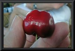 Jambo / Malayapfel, Wasserapfel (Syzygium malaccense)