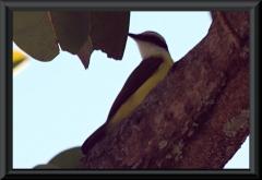 Masken-Lictorthyrann (Pitangus lictor)