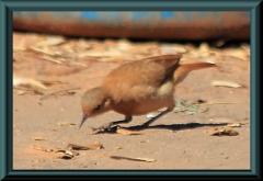 Töpfervogel (Funarius rufus)