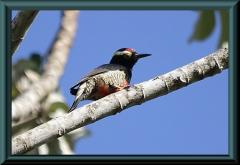Gelbbrauenspecht (Melanerpes cruentatus)