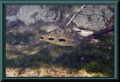 See-Leporinus (Leporinus lacustris)