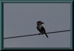 Braun gebänderter Puffbird (Notharchus ordii)