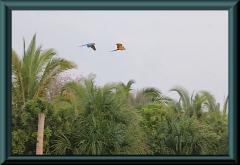 Gelbbrustara (Ara ararauna)