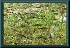 Aequidens rondoni
