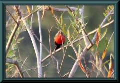 Rotbrust-Schwarzvogel (Sturnella militaris)
