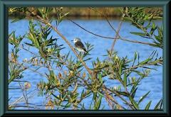 Weißkopf-Sumpf Tyrann (Arundinicola leucocephala)