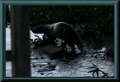 Riesenotter (Pteronura brasiliensis)