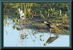 Stelzenläufer (Himatopus himantopus) (li) und Grüner Ibis (Mesembrinibis cayennensis) (re)