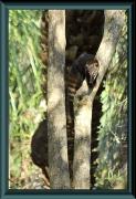 Nasenbär (Nasua nasua)