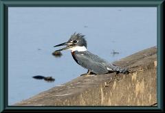 Amazonas-Fischervogel