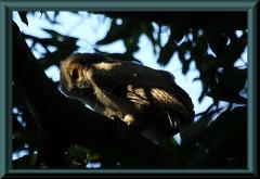 junger Virginiauhu (Bubo virginianus)