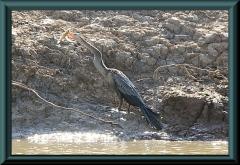 junger Schlangenhalsvogel (Anhinga ahinga) mit höchstwahrscheinlich einem Pimelodus