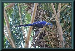 Blauer Hyazinthara (Anodorhynchus hyacinthinus)