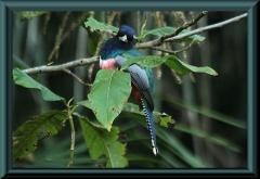 Blauscheiteltrogon (Trogan curucui)