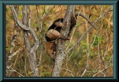 Kleiner Ameisenbär (Tamandua)