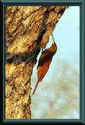 Fuchsroter Baumsteiger / Riesenbaumsteiger (Xiphocolaptes major)