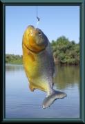 Gelber Piranha (Pygocentrus cf. piraya)