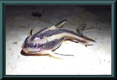 junger Platydoras armatulus