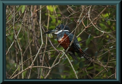 Rotbrustfischer (Megaceryle torquata)