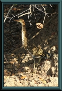 Tigerreiher / Streifenreiher (Tigrisoma fasciatum)