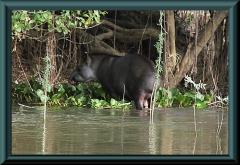 Flachlandtapir (Tapirus terrestris)