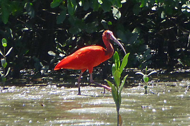 Scharlachsichler / Roter Ibis (Eudocimus ruber)