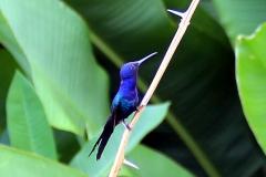 Blauer Gabelschwanzkolibri (Eupetomena macroura)