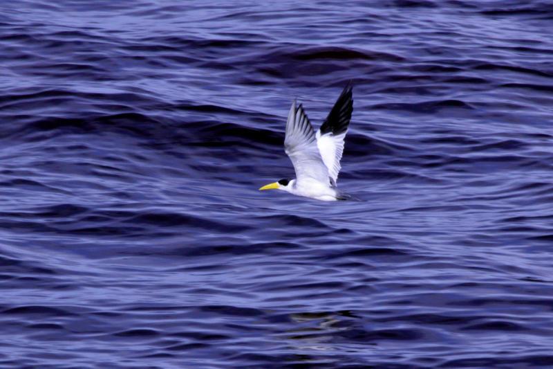 Großschnabel-Seeschwalbe (Phaetusa simplex)