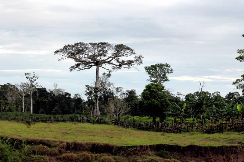 Ceiba - ein Urwaldriese