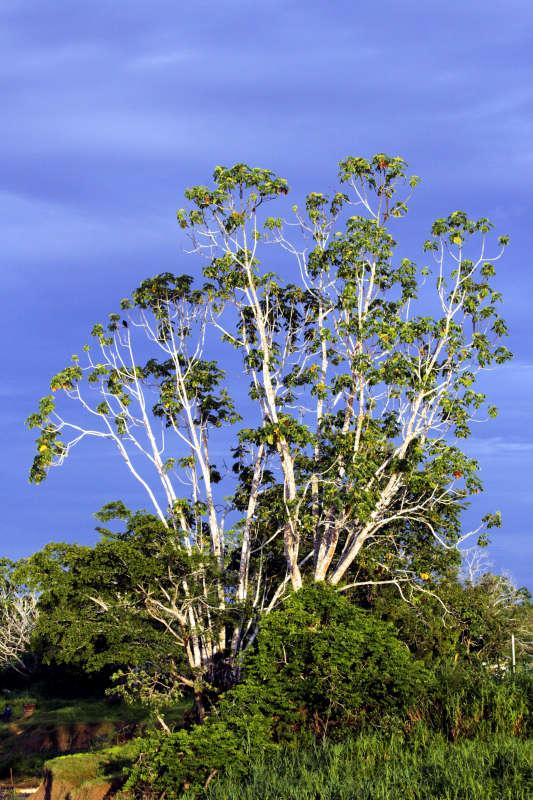 Cecropia - Ameisenbaum
