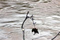 Uferschwalbe (Riparia riparia)