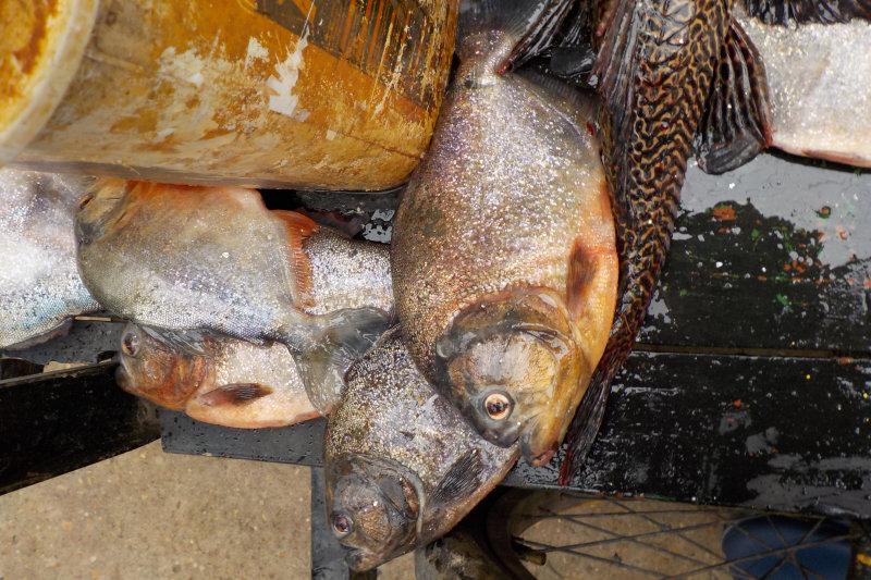 Piranhas (Pygocentrus nattereri)