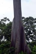 Brettwurzeln des Ceiba