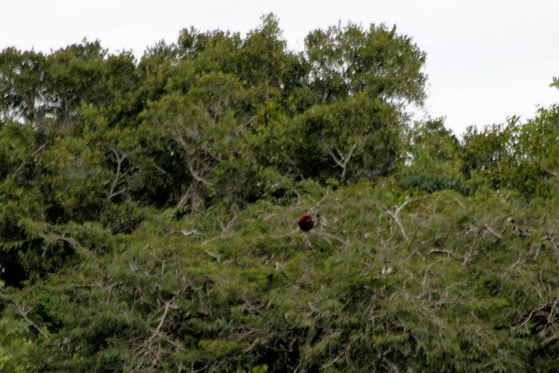 Roter Brüllaffe (Alouatta seniculus)