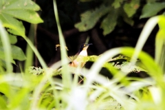 Rohrspottdrossel (Donacobius atricapilla)