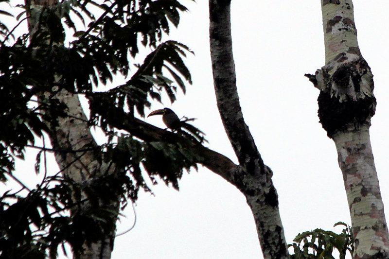 Doppelbindenarassari (Pteroglossus pluricinctus)