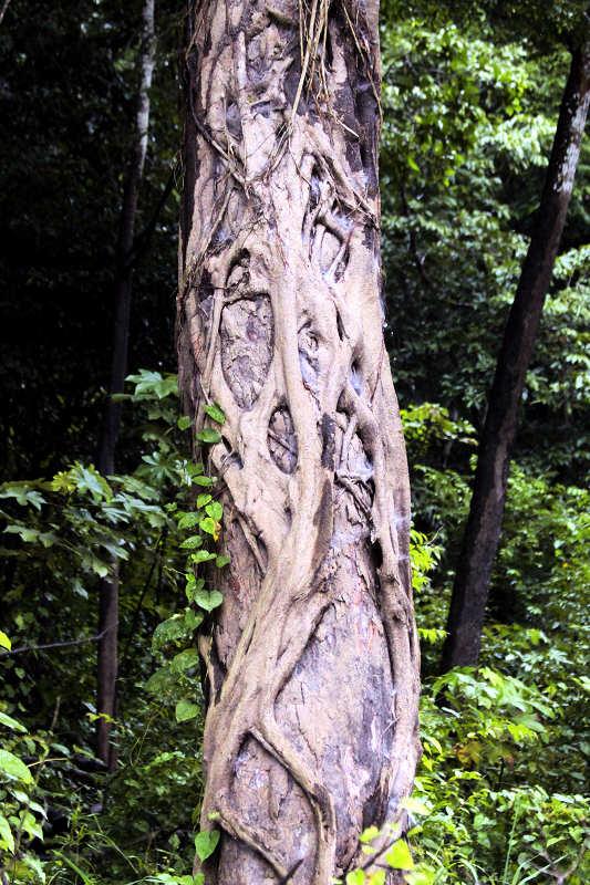 Würgefeige (Ficus)