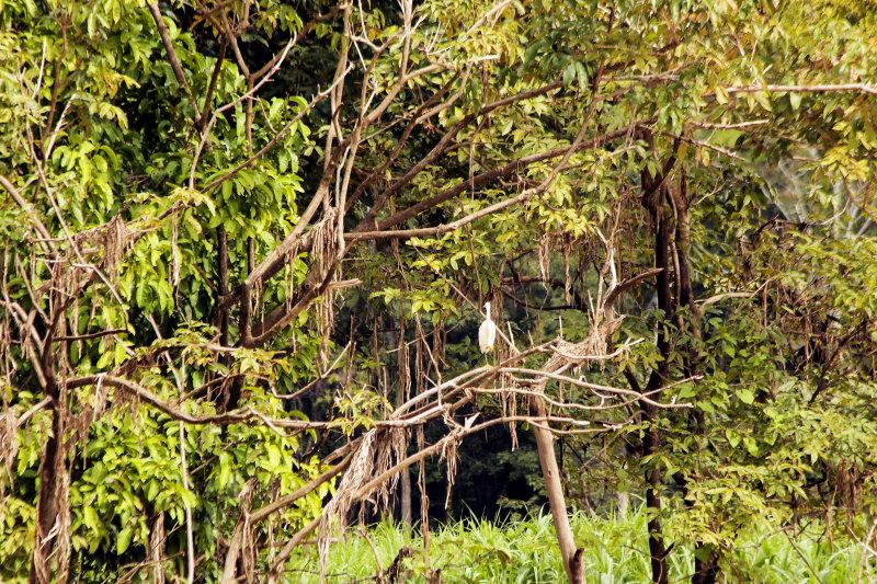 Schmuckreiher (Egretta thula)