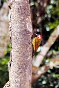 Tüpfelbuntspecht (Colaptes punctigula punctipectus)