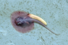 "Potamotrygon cf. motoro ""marbled"" (Embryo)"